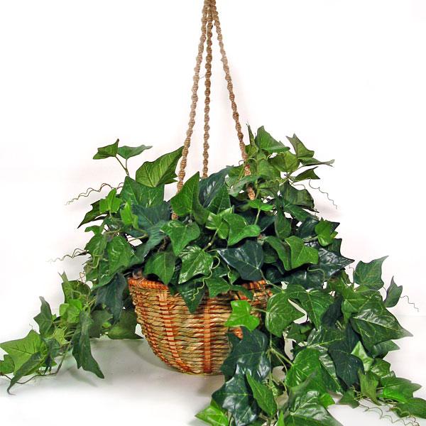 english-ivy-plant